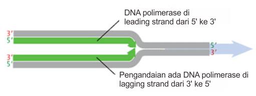 Kondisi hipotesis arah replikasi DNA