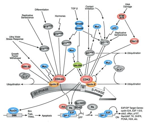 Alur sinyal akibat kerusakan DNA di G1