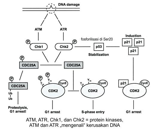Checkpoint kerusakan DNA di G1