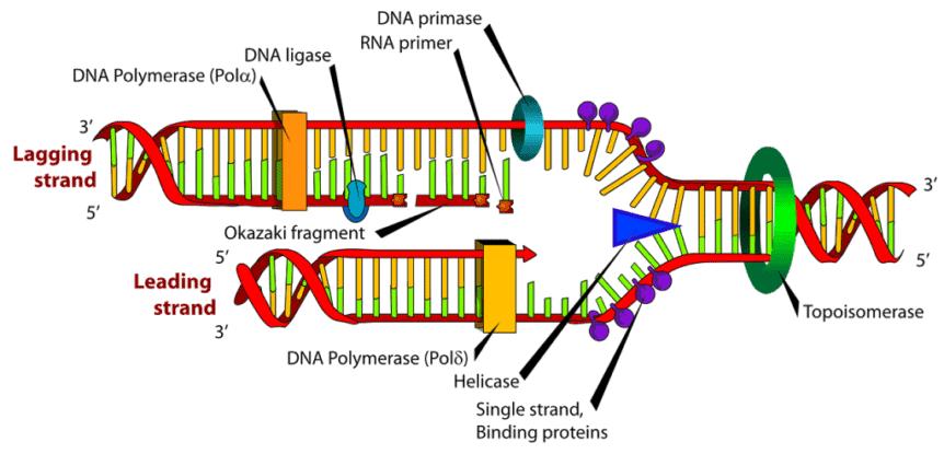 Diagram replikasi DNA