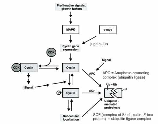 Faktor yang mempengaruhi kadar cyclin