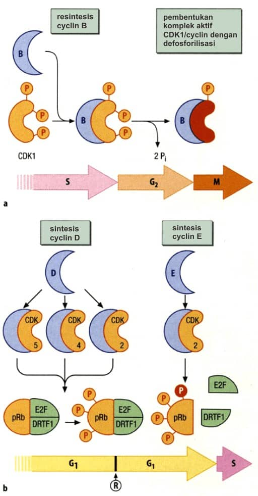 Pembentukan kompleks CDK-cyclin