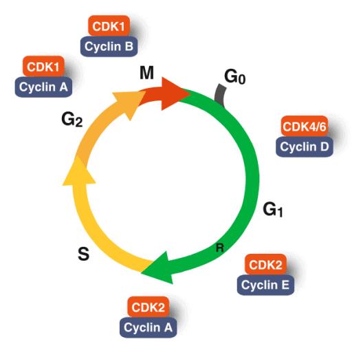 Kompleks cyclin-CDK pada siklus sel
