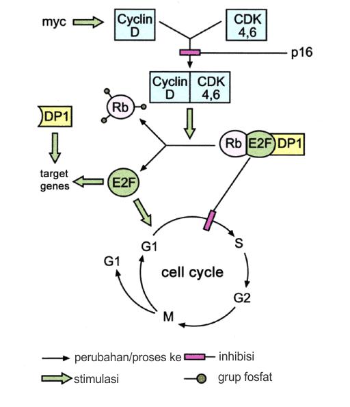 Kontrol siklus sel oleh pRb
