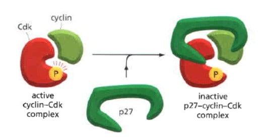 Mekanisme kerja p27 sebagai CKI
