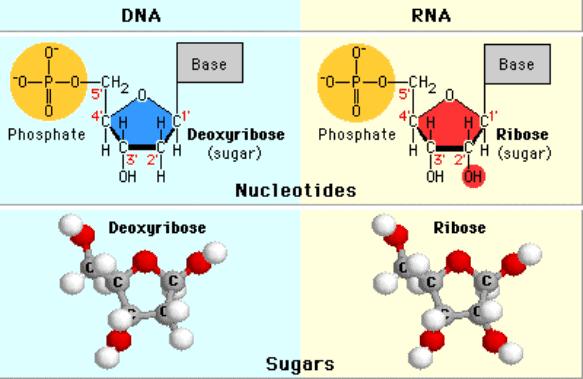 Penomoran atom karbon pada deoksiribosa dan ribosa.