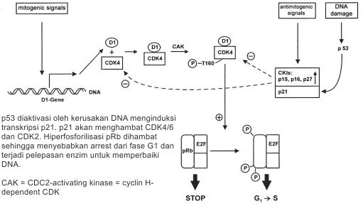 CDK, CKI, dan pRb dalam transisi G1/S