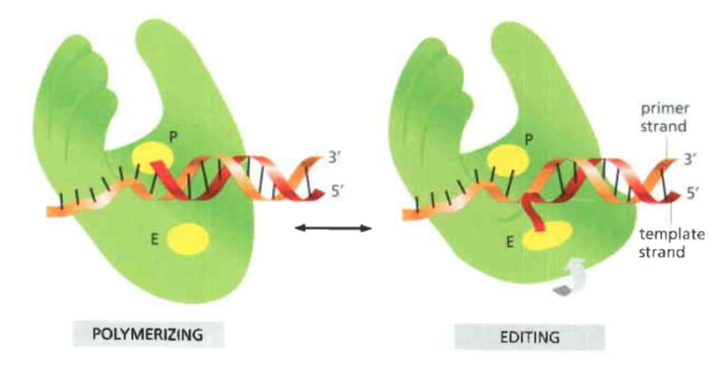 Proses editing oleh DNA polimerase