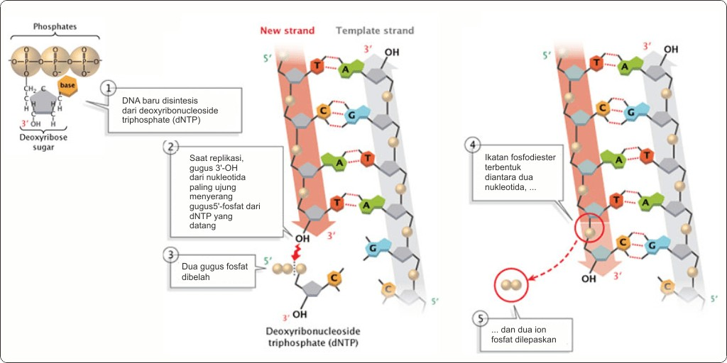 Reaksi elongasi DNA