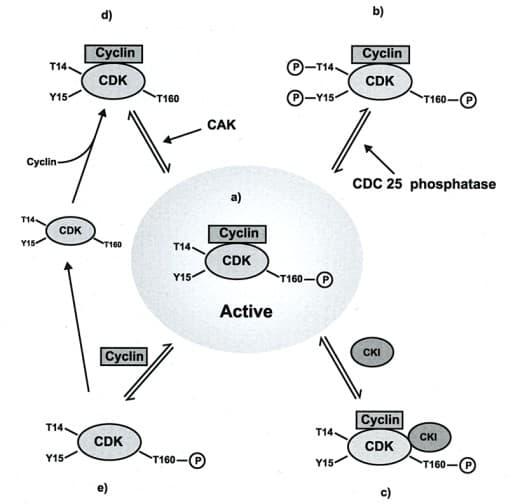 Regulasi aktivitas CDK pada siklus sel