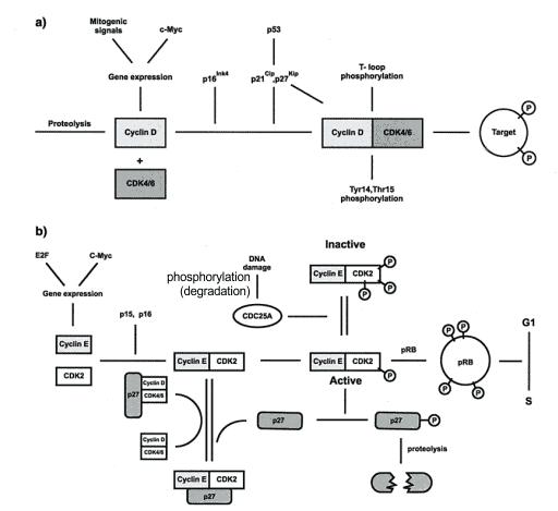 Regulasi cyclin D dan E