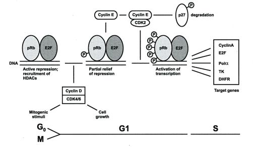 Peran cyclin dan pRb dalam transisi G0/G1.