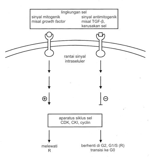 Sinyal mitogenik dan antimitogenik pada siklus sel
