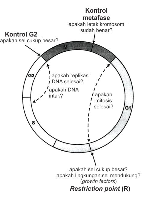 Sistem checkpoint siklus sel