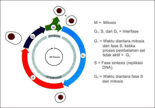 Bagan tahapan siklus sel