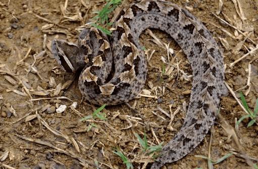 Calloselasma rhodostoma atau nama lainnya ular tanah, ular biludak, atau ular gibug