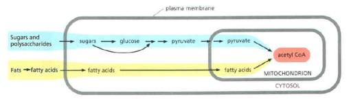 Sumber acetyl-CoA