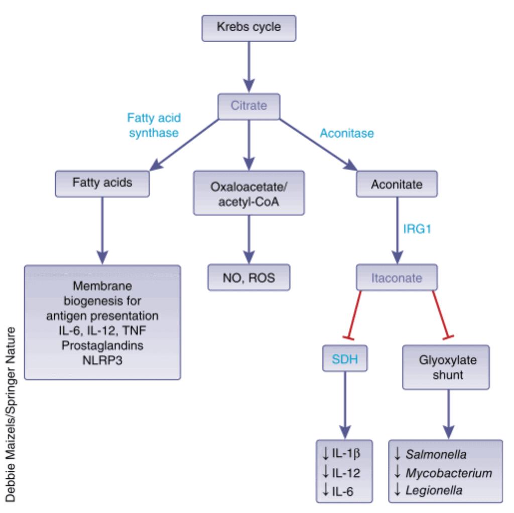 Peran asam lemak, oksaloasetat dan itaconate dalam sistem imunitas tubuh.