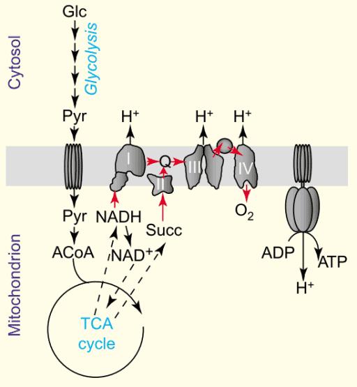 Glikolisis, siklus Krebs, dan rantai transpor elektron dalam produksi energi.