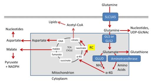 Peran glutamin sebagai alternatif acetyl CoA dalam metabolisme