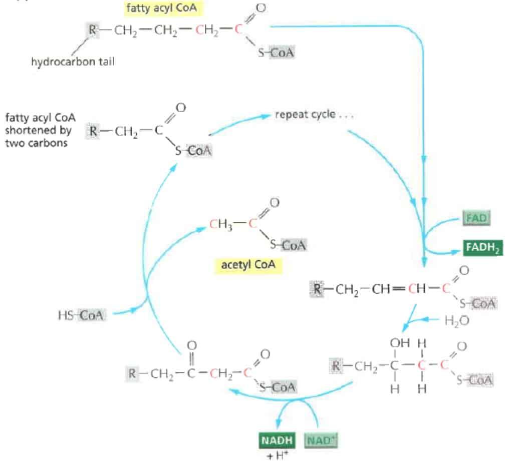 Proses okasidasi asam lemak menjadi acetyl-CoA