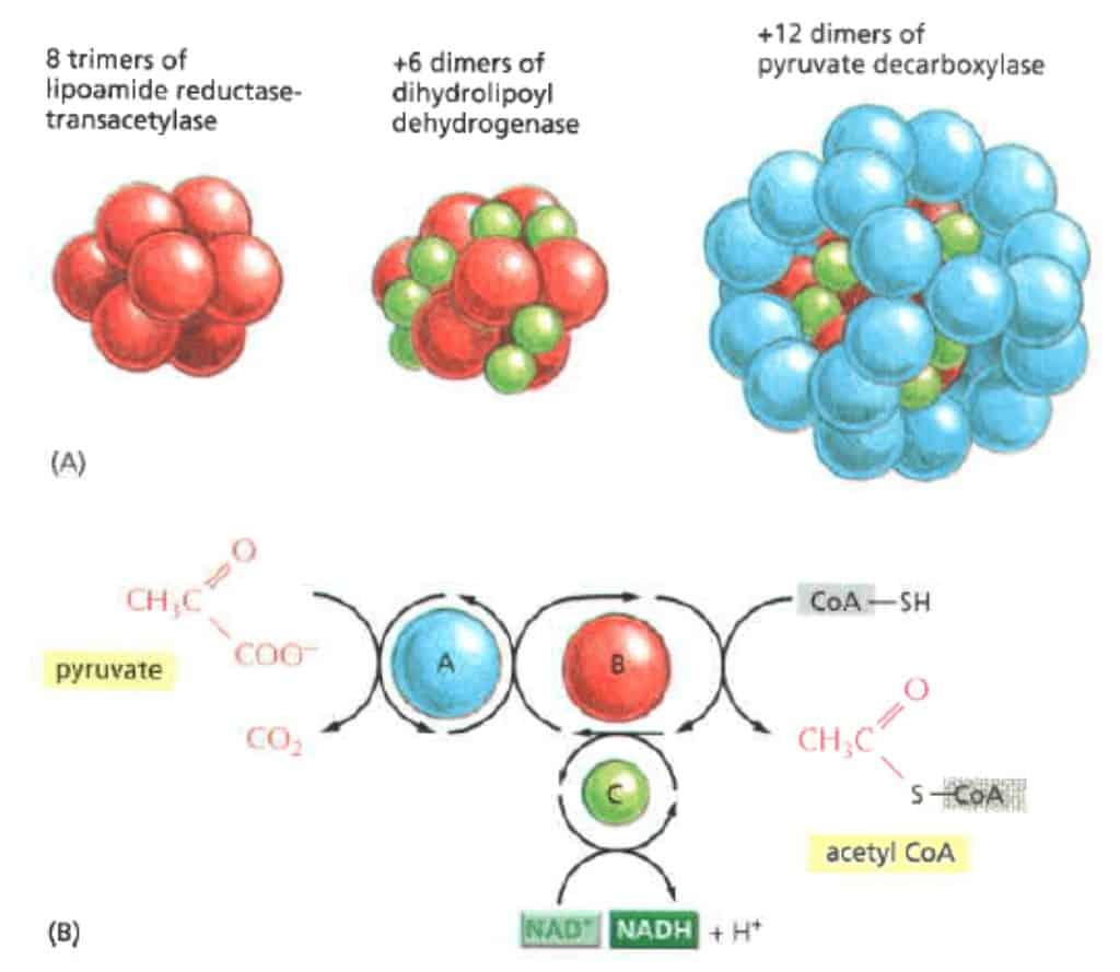 Gambaran kompleks enzim yang terlibat dalam proses reaksi dekarboksilasi oksidatif