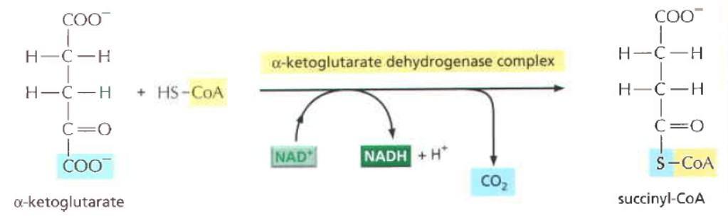 Tahap 4 siklus Krebs