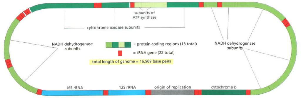 Genom mitokondria manusia.
