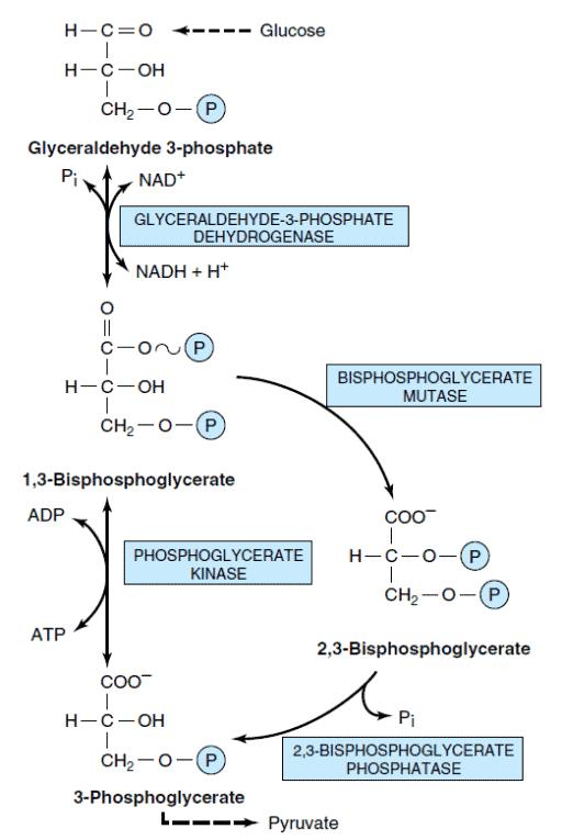 Glikolisis pada eritrosit