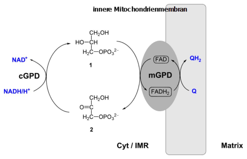 Glycerol-3-phosphate shuttle
