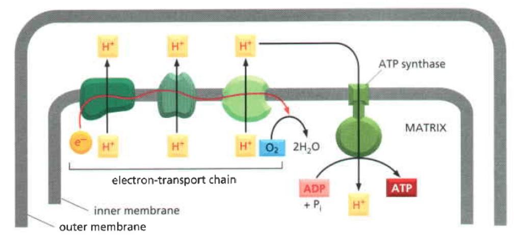 Gradien elektrokimia yang dihasilkan rantai transpor elektron digunakan dalam sintesis ATP