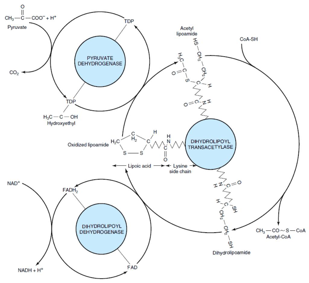 Reaksi enzimatik dekarboksilasi oksidatif