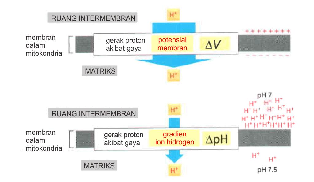 Dua komponen gradien elektrokimia di mitokondria