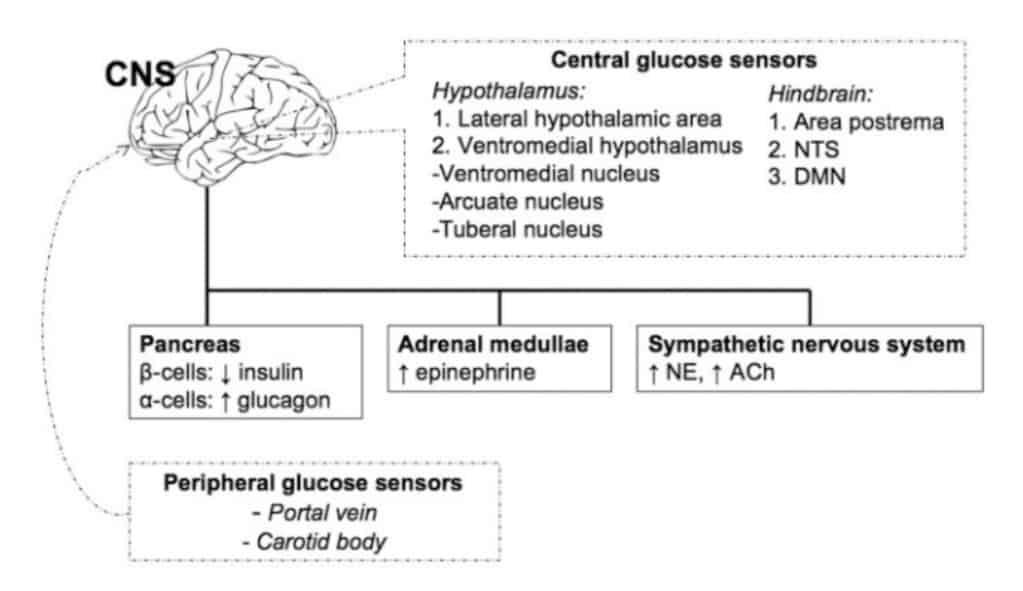 Koordinasi berbagai sistem neuroendokrin terhadap hipoglikemia.