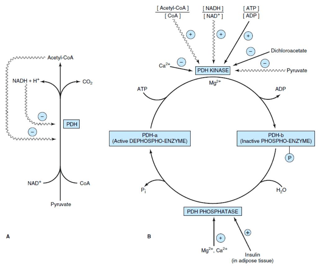 Mekanisme kontrol atau umpan balik dari piruvat dehidrogenasae