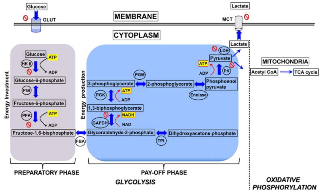 Beberapa molekul dalam glikolisis yang berpotensi dijadikan target dalam terapi penyakit kanker.