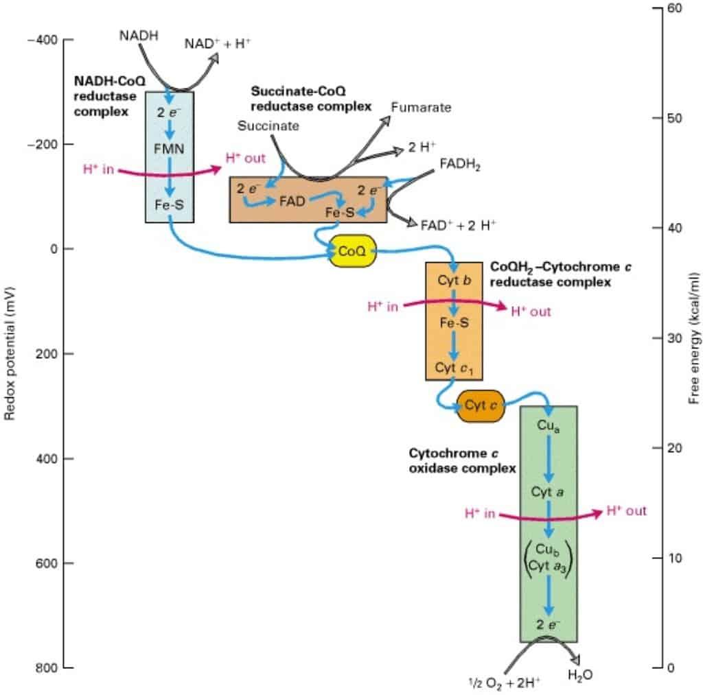 Perubahan energi potensial redoks elektron menurun setiap terjadi perpindahan elektron dalam rantai transpor elektron