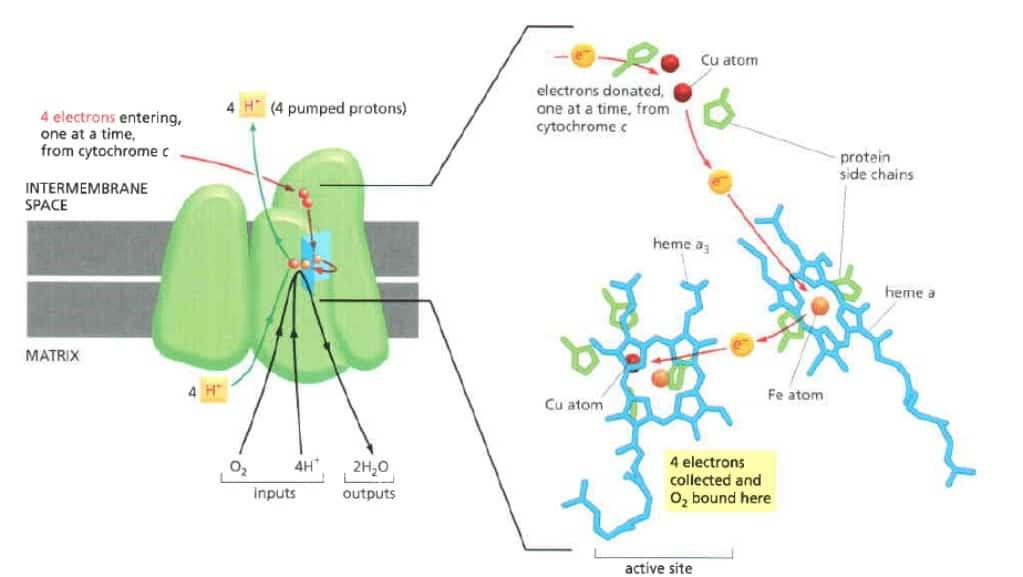 Reaksi empat elektron dengan oksigen pada kompleks sitokrom oksidase