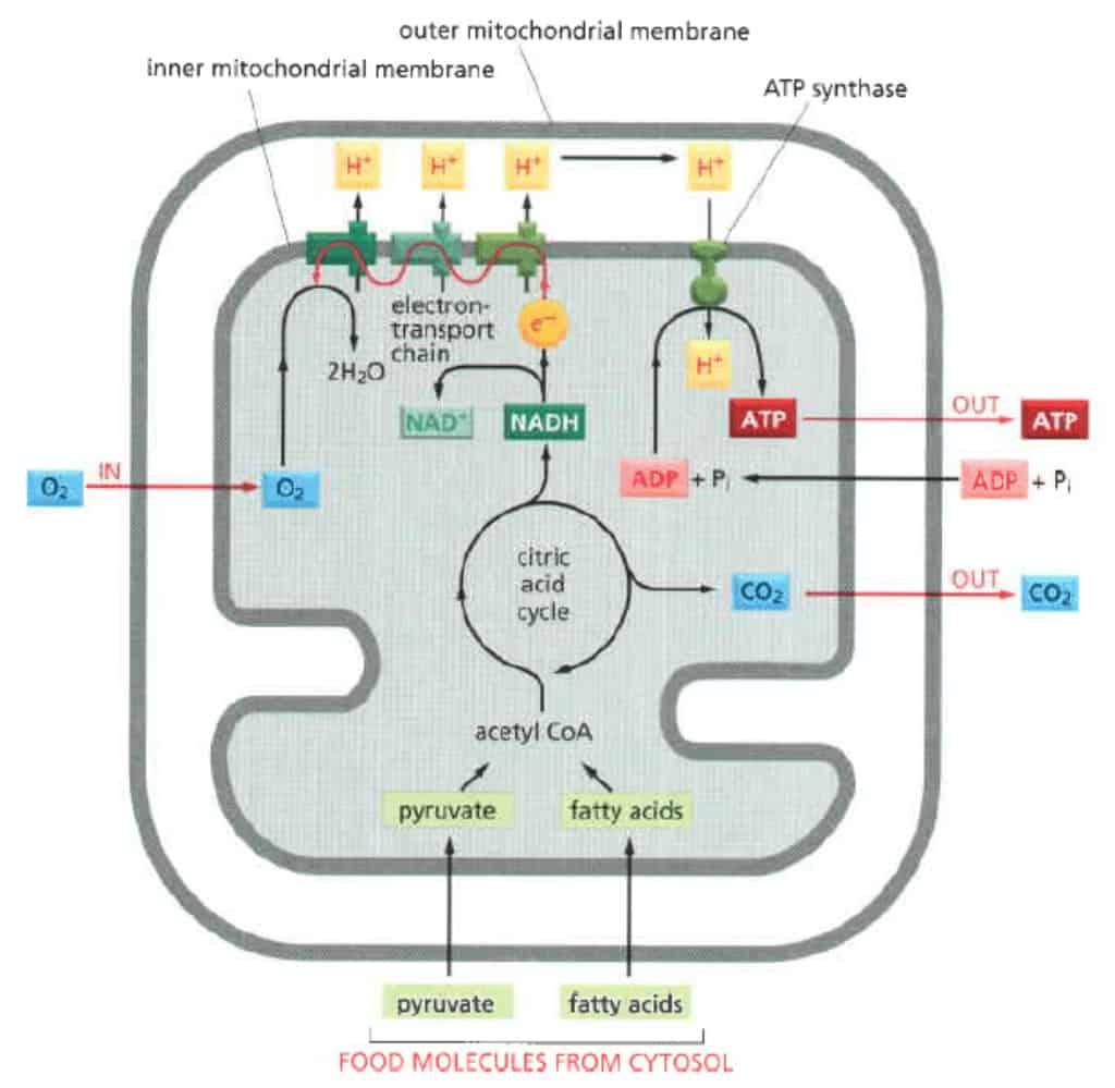 Ringkasan cara mitokondria memproduksi energi berupa ATP