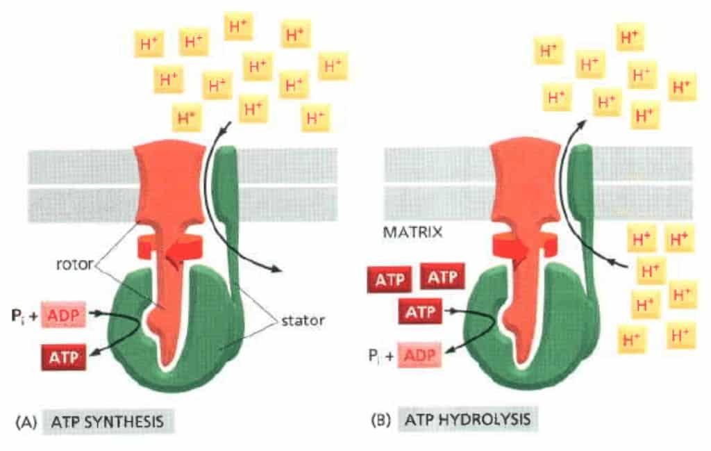 Sifat reversibel ATP-sintase