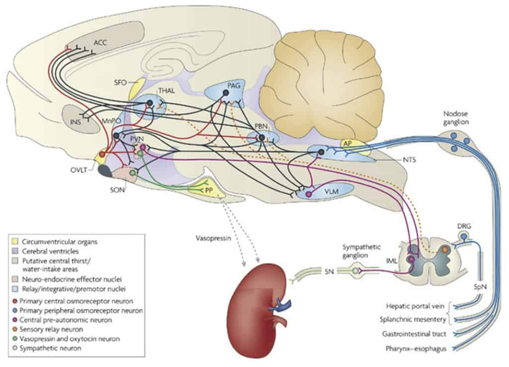 Osmoregulation circuit in the mammalian central nervous system