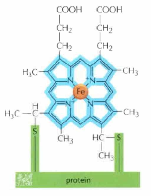 Struktur heme pada sitokrom.