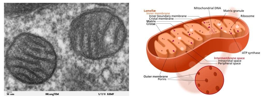 Struktur umum mitokondria