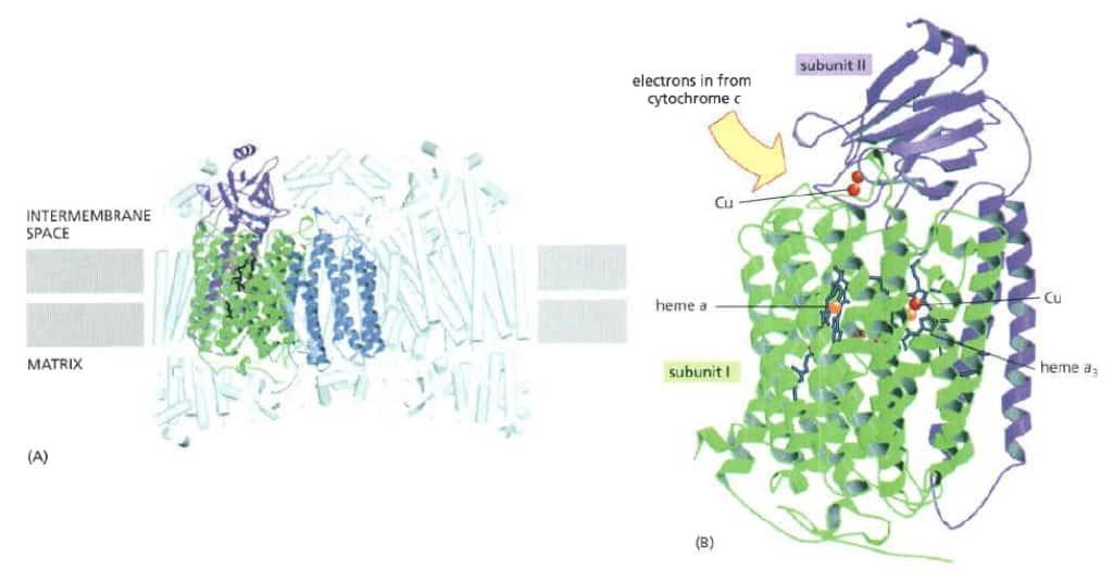 Struktur sitokrom oksidase