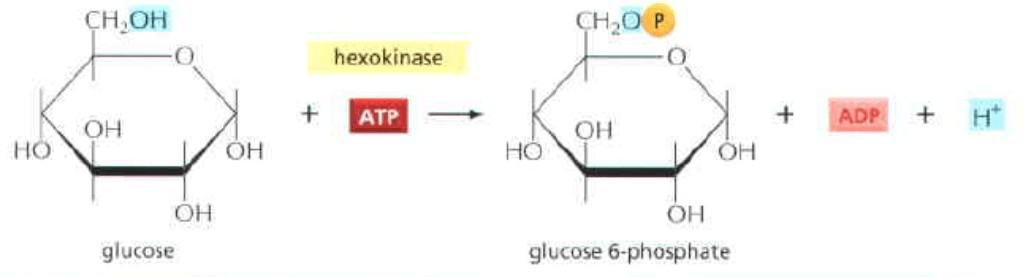 Tahap pertama glikolisis