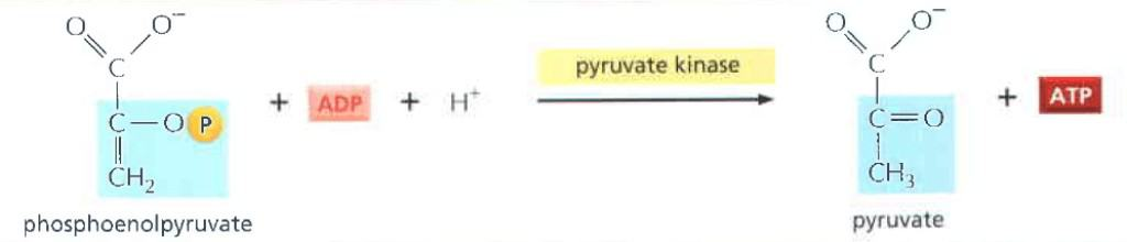 Tahap kesepuluh reaksi glikolisis