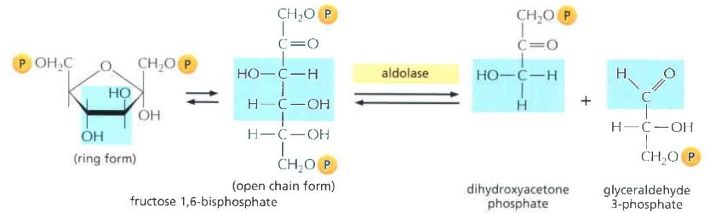 Tahap keempat glikolisis