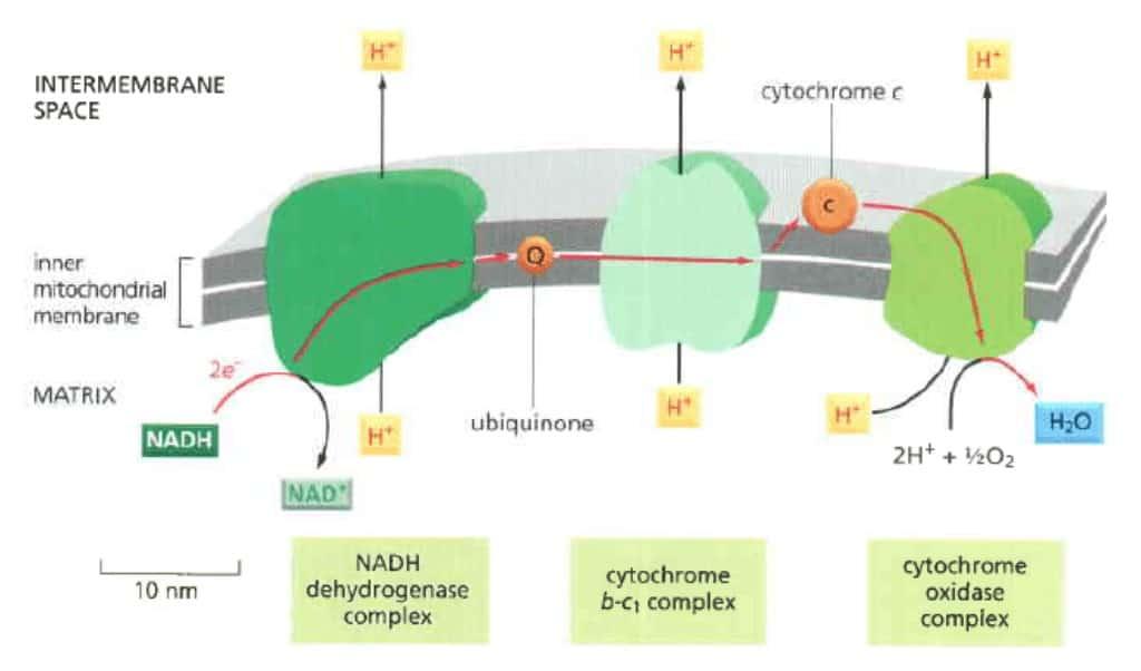 Skema perpindahan elektron dan tiga komplek enzim dalam rantai transpor elektron.