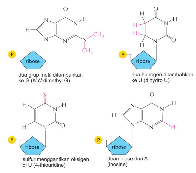 Beberapa modifikasi nukleotida pada tRNA