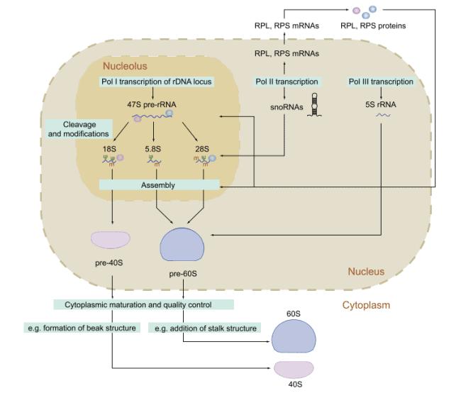 Biosintesis ribosom pada eukariota